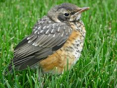 birdnote q&a: fledging, when young birds leave the nest - A Way To ...