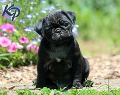 Keystone Puppies has a puppy finder feature setting you up to find and buy a dog perfect for your home. Pug Puppies For Sale, Black Pug Puppies, Happy Animals, Cute Animals, Puppy Finder, Buy A Dog, Dog Runs, Outdoor Dog, Best Dogs