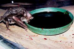 vampire bat drinking blood @ the zoo . Vampire Bat, What Is Tumblr, Trending Topics, Dumb And Dumber, Deviantart, Bats, Drinking, Blood Cells, Body Weight