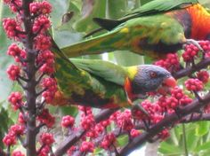 parrots in berries from travelpod.com