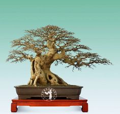 Promoting and Expanding the Bonsai Universe Bonsai Pruning, Bonsai Ficus, Bonsai Art, Bonsai Plants, Bonsai Garden, Bougainvillea Bonsai, Aquarium Fish, Fish Aquariums, Bonsai Tree Types