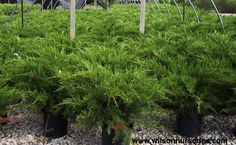 Image result for Juniperus chinensis sea green (Chinese Juniper)