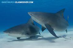 Bull_Shark_121.jpg (600×400)