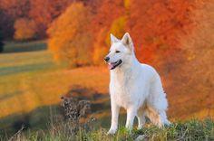 This white German Shepherd loves the fall season...