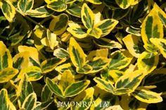 Emerald 'n Gold Wintercreeper, a very brilliant golden plant that makes dreary winter landscapes more cheerful. Makes a fine single specimen, but lower stature makes a fine barrier hedge inside existing gardens, or along the perimeter.