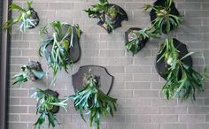Heather Shouse tells us an easy to re-create her antler-esque plant installation. Green Plants, Air Plants, Indoor Plants, Staghorn Fern Mount, Succulent Terrarium, Terrariums, Apartment Balcony Garden, Platycerium, All About Plants