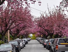 Sakura trees in New Westminster, BC, Canada Westminster, Countries, Street View, Trees, Canada, Tree Structure, Wood