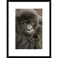 "Global Gallery 'Mountain Gorilla Juvenile Portrait' Framed Photographic Print Size: 24"" H x 18"" W x 1.5"" D"