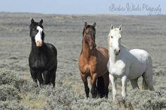 Three Wild Mustangs Stallions...photo by Barbara Wheeler Photography  www.facebook.com/cowboymagic