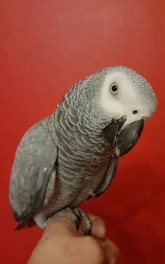 LOST AFRICAN GREY: 02/09/2017 - Mexborough, Doncaster District, South Yorkshire, England, United Kingdom. Ref#: L36318 - #CritterAlert #LostPet #LostBird #LostParrot #MissingBird #MissingParrot #LostAfricanGrey #MissingAfricanGrey