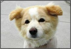 Tiny was being held for his family because they were homeless and the shelter has a program to help out families in need. However they never came back to get him. Tiny is 10+ years old and very sweet and affectionate. He is possibly house trained and just a wonderful little guy. We don't know much more about him then that. He was very matted when he came in, so the groomers had to shave him down to nothing, but he'll be super handsome when his fluffiness grows back!    This dog will be…
