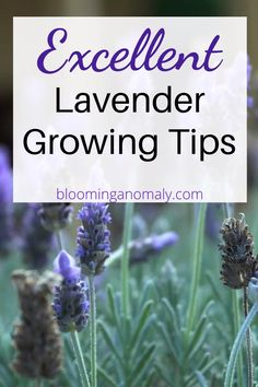 There are several types of lavender you can grow to enjoy in your garden or use in homemade beauty products. Display lavender in pots as patio decor and more. Click on the link for some excellent lavender growing tips. Lavender Uses, Dried Lavender Flowers, Growing Lavender, Lavender Sachets, Lavender Fields, Growing Flowers, Purple Flowers, Herb Garden, Vegetable Garden