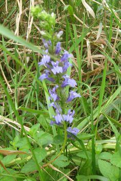 Great Blue Lobelia, Lobelia siphilitica