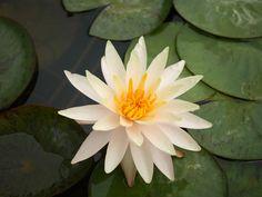 Nymphaea 'Fairy Skirt' Hardy Waterlilies  |  บัวฝรั่ง 'แฟรี่ สเกิร์ต'