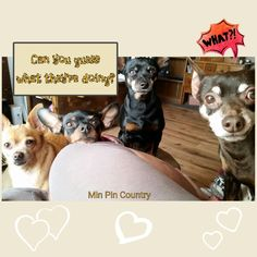 Can you guess what their doing? . . . #mooching #Barkley #chihuahua  #Choc #Yareena #Squirt #aka #queen #MinPin #family #dogs #mamasgirls #mamasboys #spoiled #wrotten #bratt #furever #home #howevalley  #MinPinCountry ##kentucky #samsungcameraphone #photocollagemakerapp #JehovahCreationIsAwesome