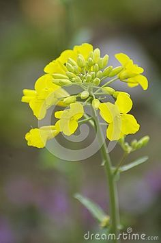 Nature background of colza close up bloom