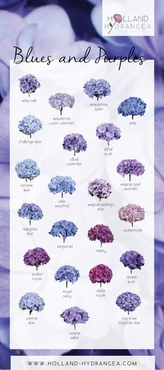 Beautiful Blues and Purples [Holland Hydrangea] Hortensia Hydrangea, Hydrangea Garden, Hydrangea Colors, Purple Hydrangea Bouquet, Blue Hydrangea Wedding, Purple Hydrangeas, Hydrangea Landscaping, Backyard Landscaping, Landscaping Ideas