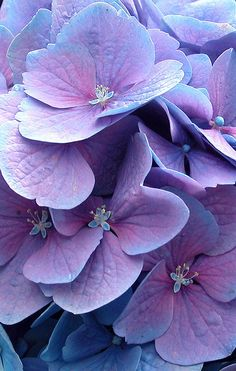 Hortensia Azul o Hydrangea. Hortensia Hydrangea, Blue Hydrangea, Hydrangea Macrophylla, Chrysanthemums, Deco Floral, Floral Design, All Things Purple, Purple Aesthetic, Shades Of Purple