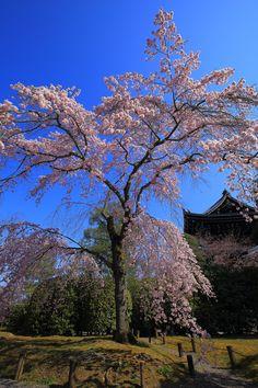 友禅苑の青空に映えるピンクのしだれ桜と三門