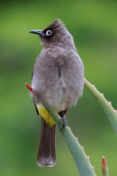 Cape Bulbul, Pycnonotus capensis at Kirstenbosch Small Birds, Little Birds, Colorful Birds, Rare Birds, Exotic Birds, Most Beautiful Animals, Beautiful Birds, South African Birds, Bird House Kits