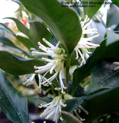 Sarcococca confusa -- Christmas box. Very scented white flowers in winter and evergreen leaves.