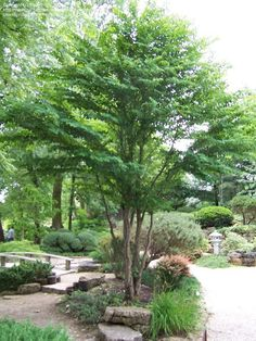 Katsura Tree (Cercidiphyllum japonicum) This tree is less tolerant to drought than most others. The autumn fragrance is described in the descriptions of . Deciduous Trees, Trees And Shrubs, Trees To Plant, Amazing Gardens, Beautiful Gardens, Katsura Tree, Stipa, Street Trees, Shade Trees