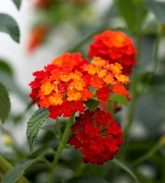 Lantana. The red draws the hummingbirds to the garden. I place my hummer feeder amongst a variety of lantana.