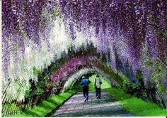 Kawachi Fuji Gardens in Kitakyushu, Japan ( 5 hours from Tokyo, if you take the Nozomi high speed train) is where you will find this pastel-colored fairy tale tunnel.  The gardens are home to about 150 Wisteria flowering plants spanning 20 different species (white, blue, purple, violet-blue and pink). This is the reason why the Wisteria tunnel is so colorful and graceful. Wisteria Tunnel, Kawachi Fuji Garden (5)