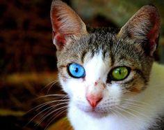 chat-yeux-bleu-vert