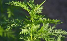 Amazing Herb Kills Of Cancer Cells In Just 16 Hours Artemisia Annua, Natural Remedies, Places To Visit, Science, Amazing, Health, Cancer Cells, Studio, Youtube