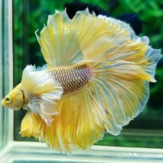 Betta Aquarium, Freshwater Aquarium Fish, Jellyfish Aquarium, Pretty Fish, Beautiful Fish, Animals Beautiful, Cute Fish, Betta Tank, Colorful Fish