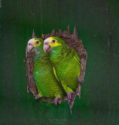 Yellow-shouldered Amazon (Amazona barbadensis barbadensis)