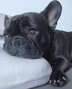 "Exceptional ""French bulldog puppies"" detail is readily available on our website. French Bulldog Blue, French Bulldog Puppies, Mini Bulldog, Cute Puppies, Cute Dogs, Dogs And Puppies, Doggies, Cute Baby Animals, Funny Animals"