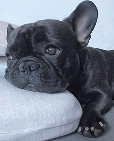 Today mood🤔 ________________ 📸@bobby_frenchbulldog ________________ #frenchie #frenchieoftheday #französischebulldogge #franskbulldog…