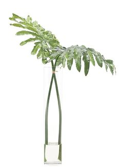 """Natural Decorations, Inc. - Selloum Leaves Glass Cylinder 36"""" h x 28"""" w  267  (Reception)"""