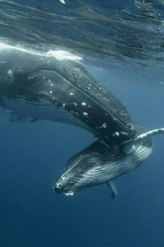 Humpback whales - mother nudging little one (@Станислав Шитенко Temelkov Wild) Beautiful.