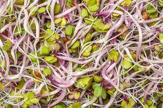 Pic: Alfalfa Sprouts