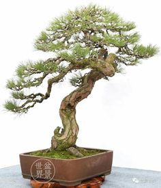 Bonsai Seeds, Bonsai Plants, Bonsai Garden, Garden Trees, Garden Planters, Trees To Plant, Bonsai Styles, Nature, Heaven