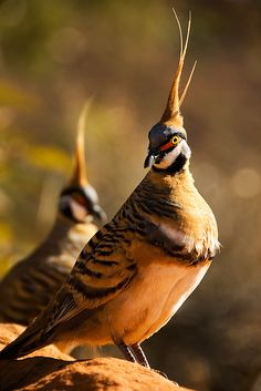 Fancy Hat:  A small flock of these beautiful and unique Spinifex Pigeons was wandering around one of the Kings Canyon rest areas, and I was quite lucky to snap some close-ups of them. Their erect crests and red eye masks are very stunning.  //  By photo.klick at flickr  (Kat Singer)