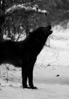 I'm just a silhouette in your black and white image, my paws like snowshoes on the snow. I notice you nearby, the 'masking' scent you wear only making your scent stronger. But I howl, to warn the pack.