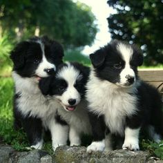 """The oval eyes are the focus of an intelligent expression—an intense gaze, the Border Collie famous """"herding eye,"""" is a breed hallmark. In motion, Borders are among the canine kingdom's most agile, balanced, and tireless citizens."""