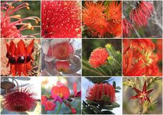 "Jill Harrison's collage of Western Australian RED wildflowers. ""The ones you see below are found from the Pilbara (the Sturt Pea) in the north to the south coast (the Scarlet Banksia) and everywhere in between....  From top left to right -  Grevillia, Bottlebrush, Red Flowering Gum, Claw Flower. Sturt Desert Pea, Eucalyptus Macrocarpa ""Mottlecah"" , Barrens Regelia, Federation Flame Kangaroo Paw. Rose Mallee, Pea, Scarlet Banksia, Star Flower."""