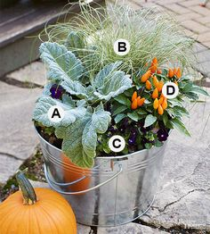 Plant an autumn-inspired container in September and enjoy it until winter sets in. The fuzzy foliage of silver sage grows alongside the arching leaves of sedge and a clump of long-lasting ornamental peppers. Almost-black pansies complete the spooky autumn color palette. A. Salvia argentea B. Carex 'Frosted Curls' C. Viola × wittrockiana 'Bowles' Black' D. Capsicum annuum/