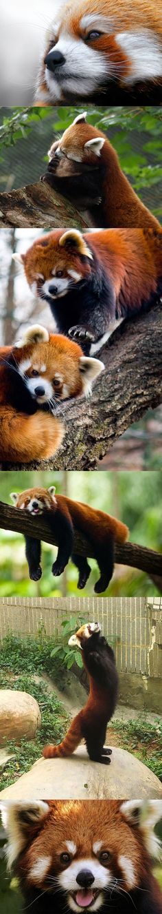 e3c7be1d5 Red Pandas - new fav animal (besides dogs of course) Cut Animals, Baby