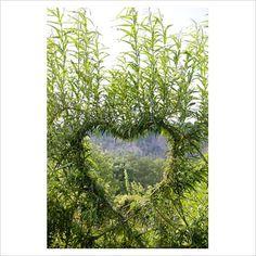 heart shaped willow espalier.