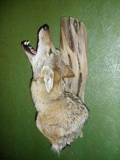 Howling Coyote shoulder mount - Small Animals