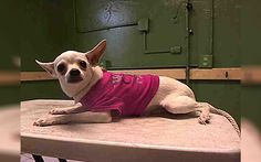 1 Year Old Pup Surrendered To High Kill Shelter Wearing Her Favorite Pink Sweater, Cries Before She Sleeps Eric January 21, 2017