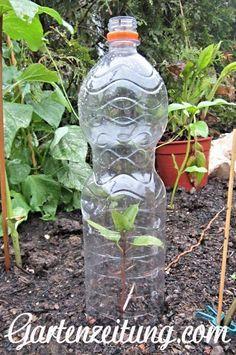PET #Flasche als Mini-#Gewächshaus oder als #Schneckenschutz für #Setzlinge im #Garten.