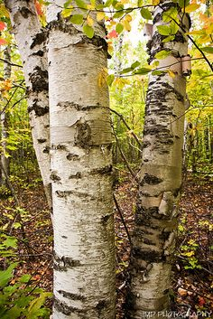 white birch tree - shade loving