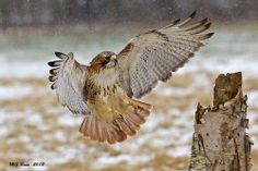 Red-tailed Hawk. Photo by malcolm benn.